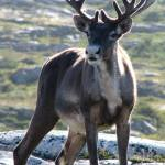 """Cargo cult"" politics make caribou the bison of the Canadian North"