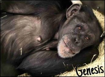 Genesis the chimp