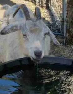 Beth's goat drinking