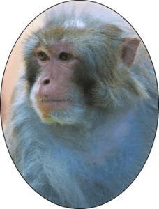 Guido the Macaque