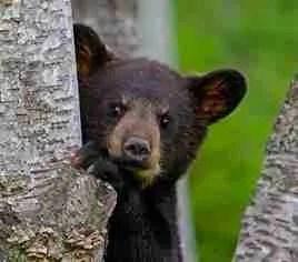 Black bear.  (HSUS photo)