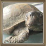 In memory of Hole, age 50-plus, a Gulf Coast box turtle