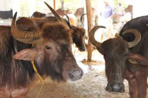 Bulls at Visakha SPCA pinjarapole. (VSPCA photo)