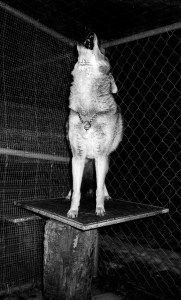 Zuni, a captive coyote, liked to howl under a tin roof that amplified his sound. (Mona Lefebvre)