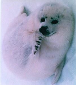 Harp seal pupl  (IFAW photo)