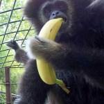 Igor, 58,  ex-laboratory gibbon
