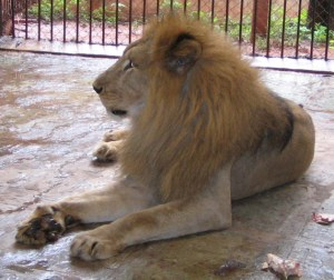 Lion rescued by Wildlife SOS. (Wildlife SOS photo)