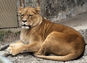 Lioness. (Beth Clifton photo)