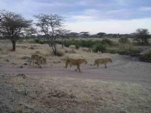 Lions in Kenya.  (Elissa Free photo)