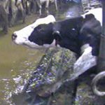 Dairymen prefer to work in the dark
