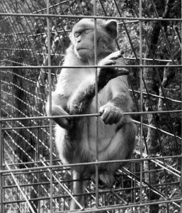 Macaque, PriPri