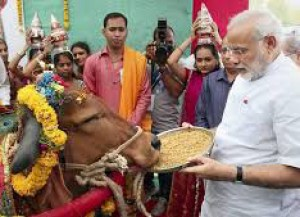 Indian prime minister Nahrendra Modi makes an offering to a cow.