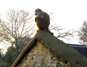 Rooftop macaque. (Merritt Clifton photo)