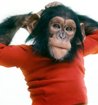 Nim Chimpsky as a young chimpanzee