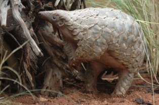 This African ground pangolin, photographed in the wild in Zimbabwe, was poster pangolin for the HSUS/HSI announcement of the Endangered Species Act petition on behalf of pangolins. (Tikki Hywood Trust photo)