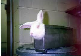 Lab rabbit. (PETA photo)