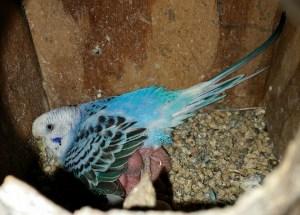 Parakeet. (Beth Clifton photo)