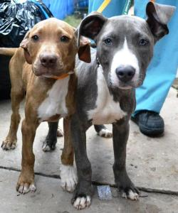 Impounded pit bulls.
