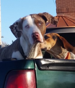Pit mixes loose in pickup truck. (Beth Clifton photo)