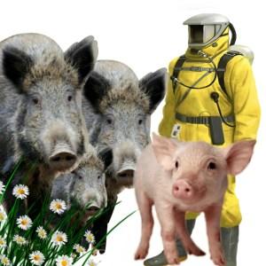 boar, pig, Hazmat