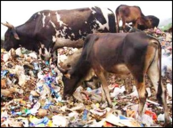 Cows on trash pile
