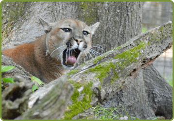 eastern puma declared extinct but did it ever really exist