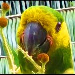 """When parrot """"conservation"""" consisted chiefly of shooting them"""