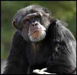 Chimpanzee at Chimp Haven