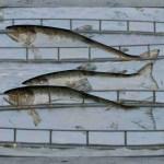 Scottish salmon sea pens