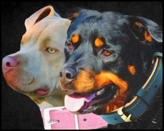 Pit bull and Rottweiler portrait