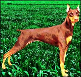 "Houston dog fancier killed: ""Before pit bulls, it was Dobermans"