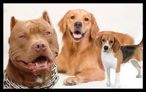 Pit bull, golden retriever, & beagle.