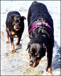 Two Rottweiler dogs