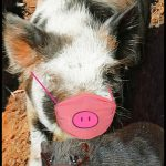 Diseased pigs & mink gave the world COVID-19, scientists suspect