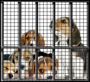 Caged beagle puppies
