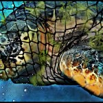 Sea turtle caught in a fishing net