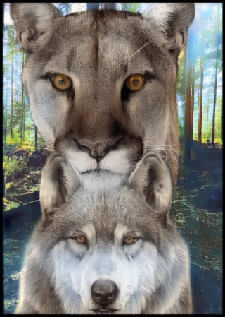 Puma and wolf in forest