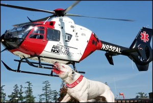 Lifeflight with pit bull on skid