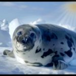 Thin ice & few buyers for pelts, but Canadian sealers kill 60,000 seal pups anyway