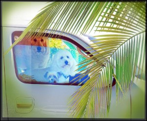 Dogs in a car with a palm tree