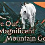 Mike O'Connor & the Zen of saving the Olympic mountain goats