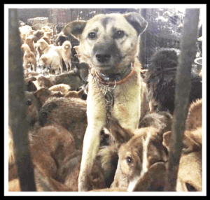 dogs rescued from meat trade.