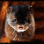The minks' jinx:  is COVID-19 an exploited species' revenge?