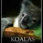 Koalas: Zen In Fur