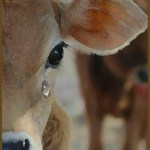 #DontGetMilked makes a splash in the heart of hypocritical cow worship