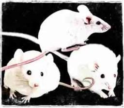 Three white mice