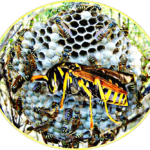 Remove bees,  wasps,  or hornets without getting stung
