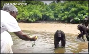 Feeding some of the former Vilab II chimps.