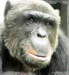 Chimpanzee used in medical research