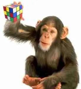 chimpanzee with rubic cube